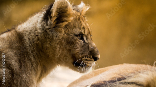 Fotobehang Junger löwe portrait kopf