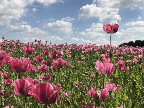 Blütenpracht - blühendes Mohnfeld im Sommer