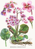 Botanical watercolor illustration of a medicinal plant Bergenia. Isolated on a light background. - 162085701