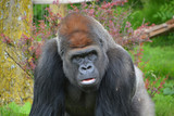 Gorillas are ground-dwelling, predominantly herbivorous apes that inhabit the forests of central Africa. The DNA of gorillas is highly similar to that of humans, from 95–99%