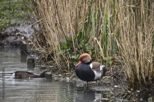 Beautiful portrait of Red Crested Pochard duck bird Netta Rufina on water in Spring
