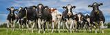 Herde norddeutscher Milchkühe auf der Weide, Banner - 162120902
