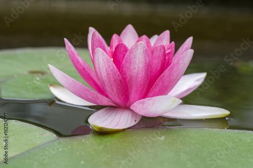 Piękna idylliczna wodna leluja w menchiach przy kwitnieniem w ogródzie w stawie - zbliżenie kwiat