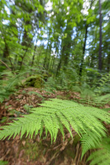 Farnblatt im Wald