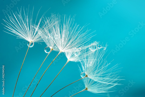 Seeds of dandelion flowers with water drops on a blue and turquoise background macro.