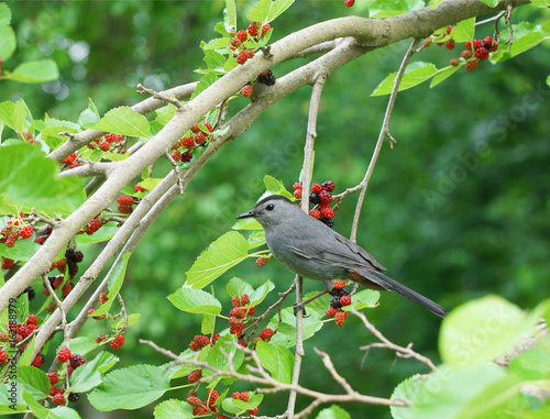 bird on mulberry branch eating ripe mulberry