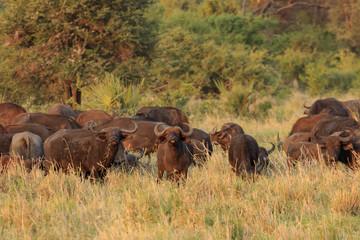 African buffalo at sunset in savannah