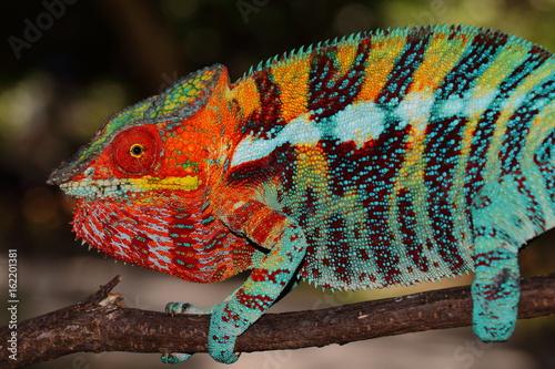 Fotobehang Kameleon Furcifer pardalis