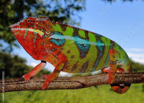 Aluminium Kameleon Furcifer pardalis