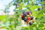 Bunch of ripe blackberries. Berry background - 162208926