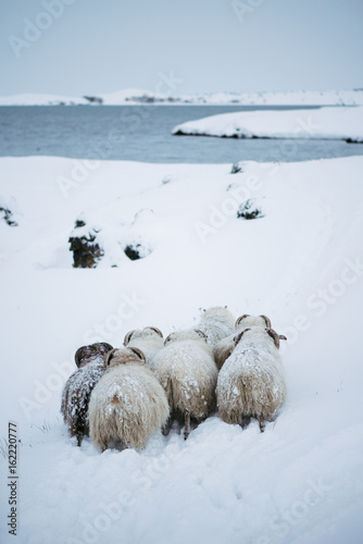 Adorable little furry sheep roaming free in Icelandic winter field by the river - 162220777
