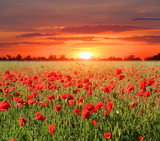 red poppy meadow
