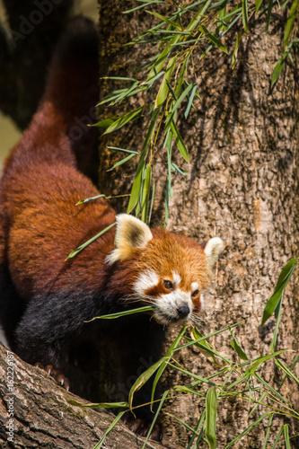 Red Panda Walking on Tree Trunk Eating Bamboo Leafs, China