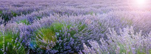 Foto op Canvas Lavendel Mer de lavande, Provence en France