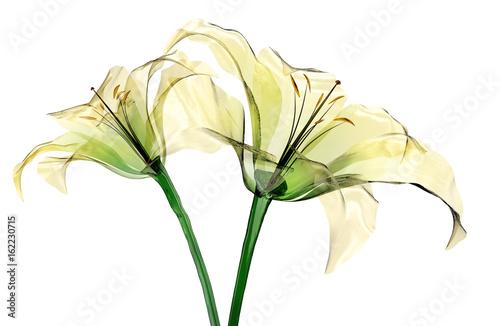 Fototapeta glass flower isolated , the lily flower