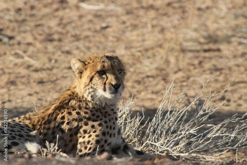 Poster Cheetah