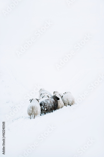 Adorably furry little sheep roaming free in Iceland; minimalistic view of sheep lost in the snowy blizzard, trying to find their way back, wandering around - 162240368
