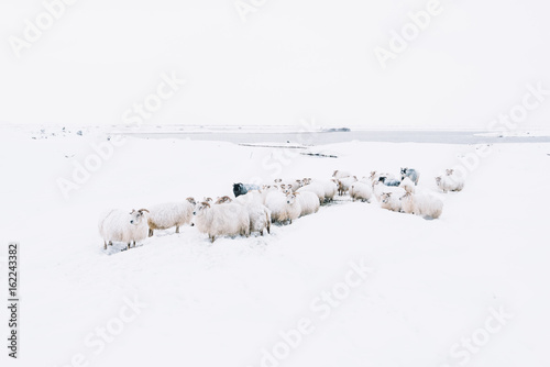 Adorably furry little sheep roaming free in Iceland; minimalistic view of sheep lost in the snowy blizzard, trying to find their way back, wandering around - 162243382