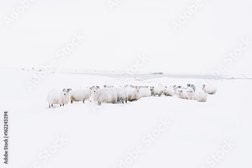 Adorably furry little sheep roaming free in Iceland; minimalistic view of sheep lost in the snowy blizzard, trying to find their way back, wandering around - 162243394