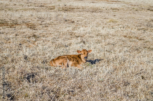 One brown cow calf lying down in hay dried grass on field meadow in winter Poster