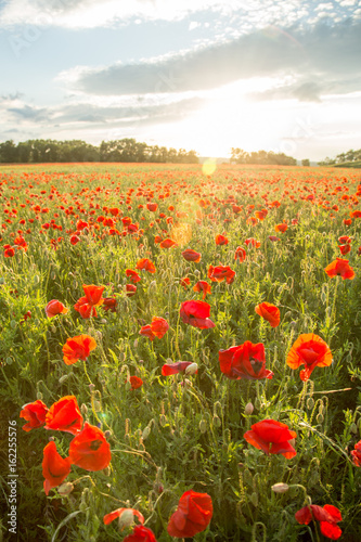 Fotobehang Klaprozen Blossoms of poppies in the fields in the South of Russia