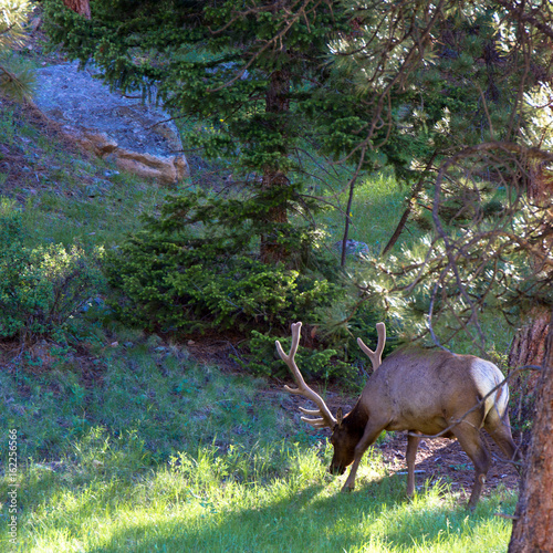 Bull Elk grazes at dawn in Rocky Mountain National Park in Colorado