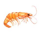Fototapety Shrimp isolated on white background, watercolor illustration