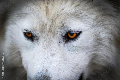 Wolf or husky dog portrait. Running dog