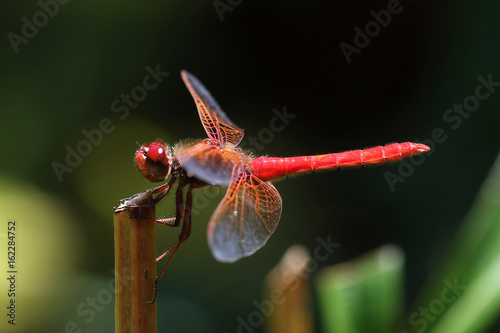 Red skimmer dragonfly Sympetrum darters meadowhawks dragonflies