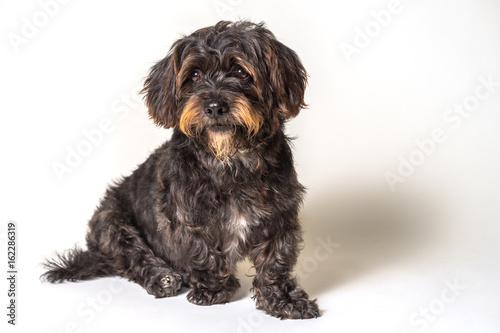 Shih Tzu Scottish Terrier mix breed dog canine with angular limb deformity sitti Poster