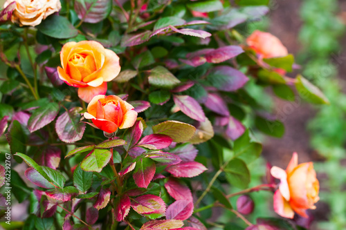 Colorful roses bush in summer garden