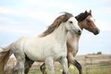 Dwa ponnie razem na Pasturage