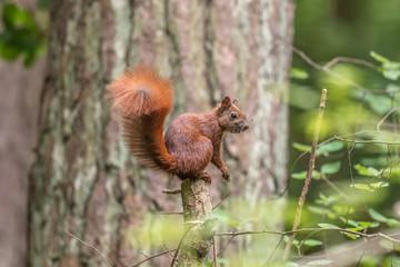 Eichhörnchen auf baumstumpf