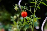 Gros plan de tomates après l'orage