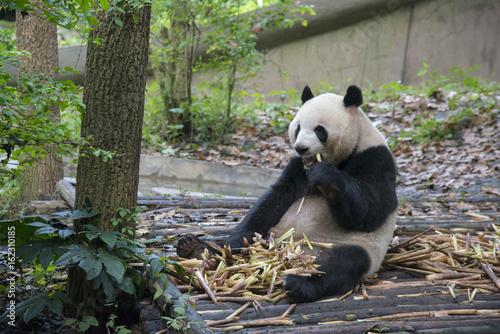 リラックスしたジャイアントパンダ