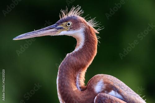Tri-colored Heron in Profile