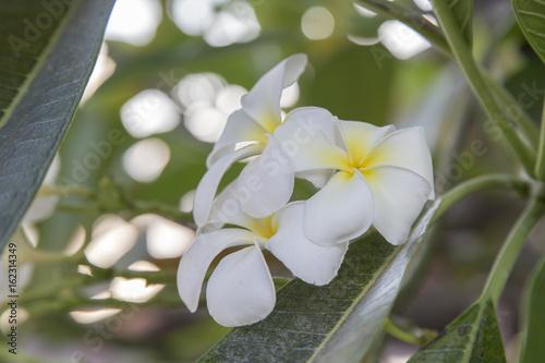 Fotobehang Plumeria Plumeria Flower or Jampa or Lilawadee