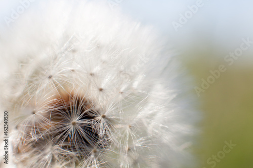 Dandelion seed with water drops - 162340530