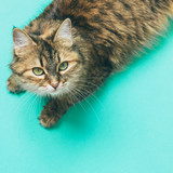 Fototapety beautiful fluffy cat with green eyes on a blue background