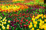 Amazing view of colorful  tulips in the garden. - 162366949