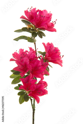 Aluminium Azalea Single branch with pink blosseming flowers isolated on a white background in a vertical image
