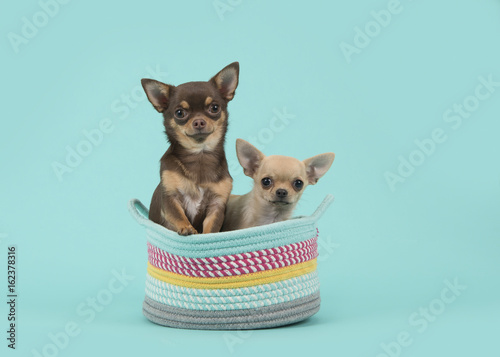 Two chihuahua dogs in a colored basket on a turquoise blue background