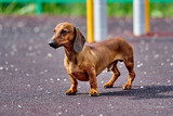 Dachshund dog in outdoor.