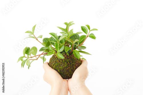 苔玉に生えた植物 Plakát