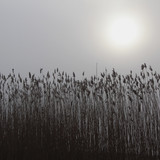 Foggy day, reed and sun at lakeside - 162415734
