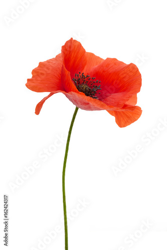bright red poppy flower isolated on white - 162424317