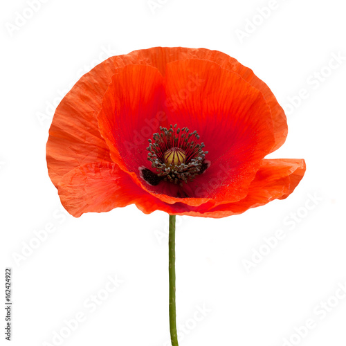 bright red poppy flower isolated on white - 162424922