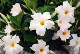 Bosquets fleuris au cœur de Saint-Tropez - 162428531
