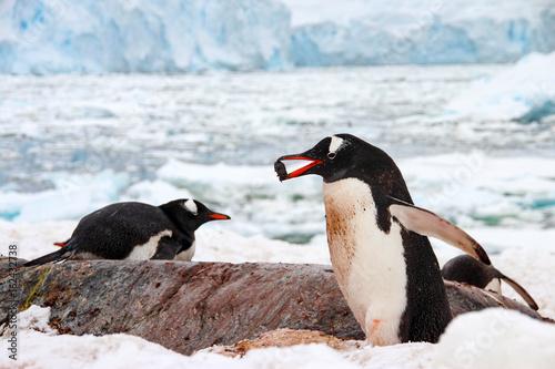 Papiers peints Antarctique Cute gentoo penguins on Cuverville Island, Antarctica