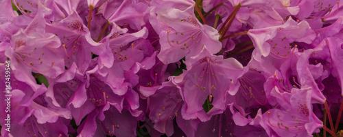Fotobehang Azalea banner picture of pink azalea blossoms in spring